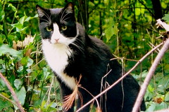 Beautiful Green Eyes (blamstur) Tags: cat blackwhite greeneyes beaverpond thebiggestgroupwithonlycats walkingwiththedogs