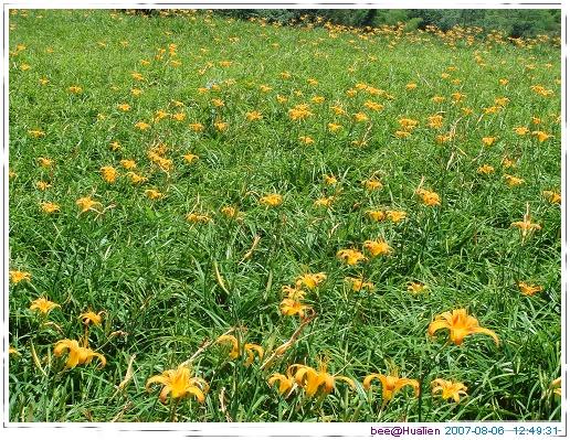 花蓮賞美麗的金針花在赤科山