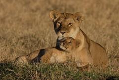 Tamu & Cub (Lyndon Firman) Tags: africa cub kenya lion safari bbc lioness tamu masaimara bigcatdiary bigcatweek impressedbeauty diamondclassphotographer flickrdiamond bfgreatesthits