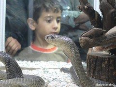Cobra Snake - Esfahan Exhibition (Shahrashoob) Tags: animal cobra snake exhibition    shahrashoob