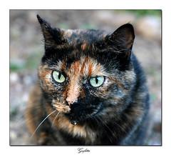 gufetta (Elisa Bistocchi) Tags: pet cat felino animale micia gatta elisabistocchi gufetta