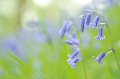 Bluebells (Keartona) Tags: flowers blue light macro green nature grass bluebells woods nikon soft natural stems hanging blade gentle d90