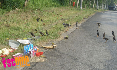 Hungry Mynah birds make a mess feasting on food offerings left at roadside