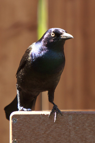 Grackle picture: Version 7D