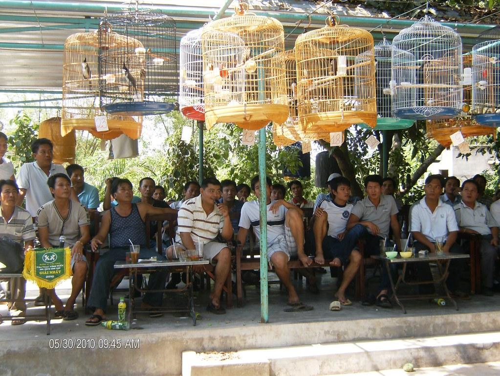 Bình Định: Thi chim chào mào ngày 30/05/2010 tại Sơn Trang quán, Qui Nhơn