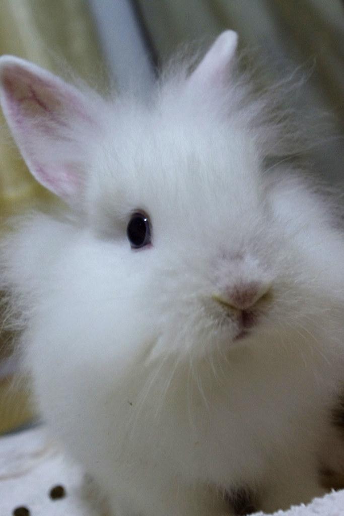 [分享] k-x  我家 獅子侏儒兔
