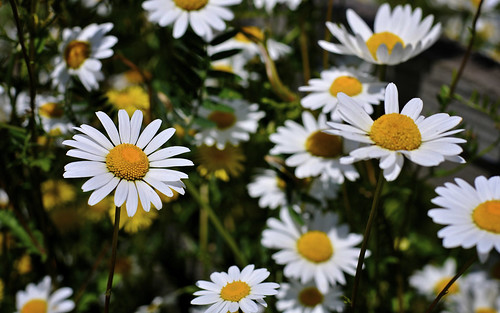 Daisies Beside The Path