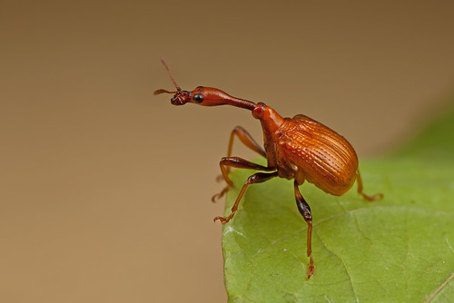 ... another Giraffe Weevil ...