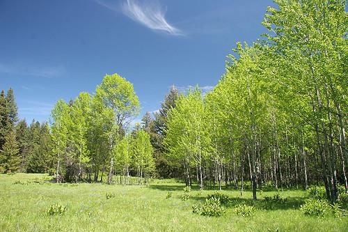 Aspens at Gooseberry Flat - Taneum