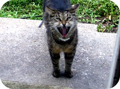 i will eat your soul! (indielove) Tags: cats pets animals samantha yawning photo365