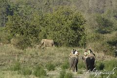 watching elephant on elephant back (dickysingh) Tags: wild india nature big outdoor wildlife aditya elephants corbett singh corbet dicky indianwildlife indianelephants corbettnationalpark asianelephants corbetttigerreserve asiaticelephants elephantpark wildelephants elephantreserve ranthambhorebagh adityasingh dickysingh ranthamborebagh theranthambhorebagh wwwranthambhorecom