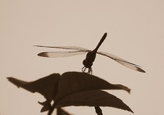Dragonfly in sepia - by tanakawho
