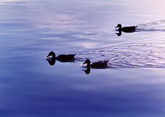 "Фото с тэгом  ""водоплавающие птицы "" (creative commons)"