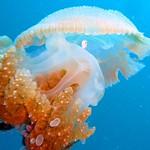 Jellyfish and Small Fish, Koh Tao Island
