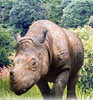 Single male rhino, 20, seeks mate to save species
