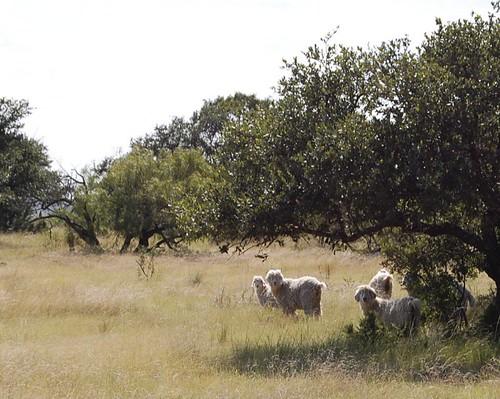 Ranch - Angora Goats
