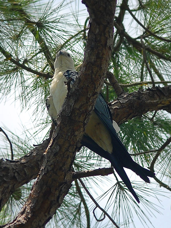 Swallow Tail Kite close roost