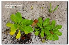 plant 7 (- F i F i -) Tags: maldives banyantree vabbinfaru sonya100