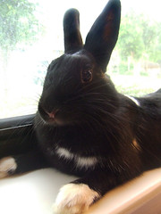 Just Cute (pioscor) Tags: pet white black cute rabbit bunny bunnies window animal bigeyes sill adorable rilee