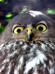 my, what big eyes you have (Abizeleth) Tags: bigeyes grandmother sydney beak feathers australia owl thumbsup featherdalewildlifepark barkingowl naturesfinest bigmomma supershot ninoxconnivens photofaceoffplatinum pfogold pfoplatinum mar09pfobrackets