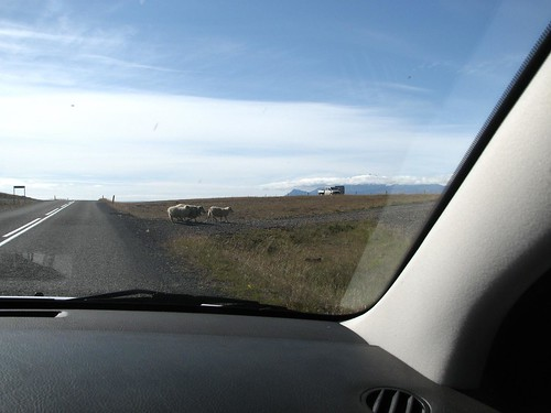 Sheep brazenly crossing the road