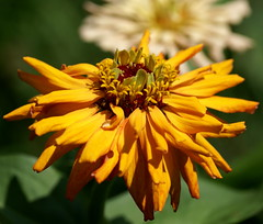 butterscotch melting... (ms.lume) Tags: zinnia naturesfinest mysistersgarden literaryreferenceinpictures lucymeskill butterscotchmelting