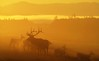 Early Morning Elk (David Cartier) Tags: top20nature naturesfinest thegoldendreams mylensatwork top25redorangeyellow