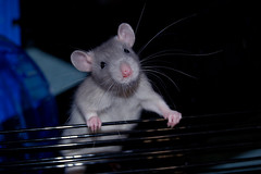 Jake (KristyR929) Tags: pet rat jake rats msh1113 msh11135