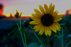 Sunflower, Dying Sunset
