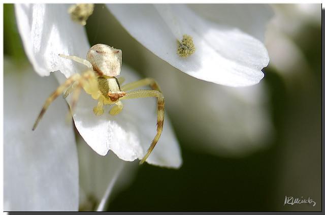 Araña Cangrejo (II)