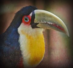Toucan. Bird Park Iguazu (algont) Tags: park bird toucan iguazu magicunicornverybest
