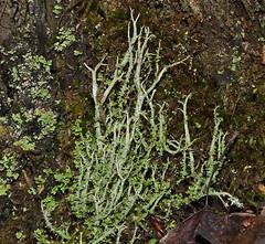 Cladonia scabriuscula 'Mealy Forked Cladonia' (dougwaylett) Tags: canada alberta lichens cladonia fruticose lesserslavelake cladoniascabriuscula hilliardsbayprovincialpark mealyforkedcladonia