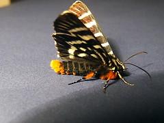 Noctuidae>Comocrus behrii Mistletoe Moth 0094 (Bill & Mark Bell) Tags: insect australia lepidoptera noctuidae westernaustralia animalia arthropoda exmouth insecta behrii taxonomy:class=insecta taxonomy:order=lepidoptera taxonomy:kingdom=animalia taxonomy:phylum=arthropoda taxonomy:family=noctuidae geo:country=australia mistletoemoth comocrus geo:state=westernaustralia geo:town=exmouth geo:lon=11425453egeolat2217752sgeoalt8m taxonomy:genus=comocrus taxonomycommonnamemistletoemoth taxonomybinomialnamecomocrusbehrii comocrusbehrii 11425453e2217752salt8m