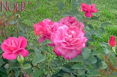 Turkish Flowers 5 (NoOouR) Tags: pink flowers rose turkeya