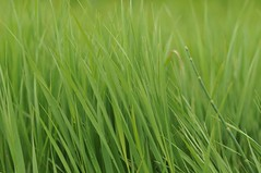Green Ditch Grass
