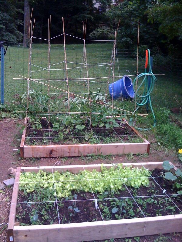 Trellised Tomatoes and Beans
