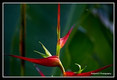 Ave del paraiso (RobertCV) Tags: flower bird del la paradise pentax flor jardin el ave botanico salvador laguna paraiso kx mywinners ysplix theunforgettablepictures