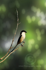 Boom tarat tarat (Kuya D) Tags: green bird nature long bokeh philippines tarat tailed shrike nikon80200mm nikond300 pinoykodakeros