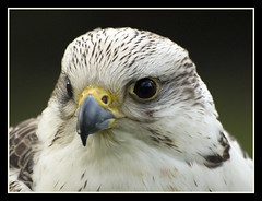 Sheer grace (Jan Gee) Tags: bird nature closeup wildlife beak falcon oiseau birdofprey vogel falken valk preditor roofvogel fogel mywinners