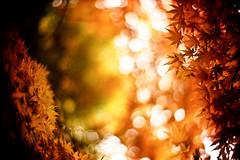 return to eternity (moaan) Tags: life leica november autumn color 50mm gold glow dof bokeh diary f10 momiji japanesemaple kobe utata rokko glowing noctilux m3 hue tinted 2010 brightyellow fujivelvia100 tinged rvp100 goldenyellow leicam3 explored autumnaltints goldendays inlife gloriousdays leicanoctilux50mmf10 diaryofnovember gettyimagesjapanq1 gettyimagesjapanq2