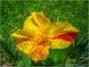 Bandera Roji-Amarilla (Fernando Reyes Palencia) Tags: flores verde rojo guatemala flor amarillo paisajesdeguatemala bellospaisajesdeguatemala fotosdeguatemala bellaguatemala paisajesdelmundo guatemalalandscapes imagenesdeguatemala guatemalapaisajes postalesdeguatemala