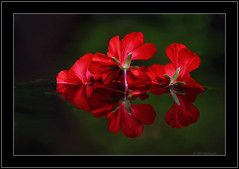 Red Geranium reflection (Barbara J H) Tags: red flower reflection water bravo australia qld geranium redflower fishpond maroochydore naturesfinest 050607 canon30d redgeranium project365 superaplus aplusphoto barbarajh daybyday2007 auselite 5thjune2007