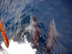 Dolphins at the Bow