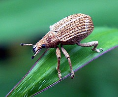 Aceh weevil (Mangiwau) Tags: macro insect indonesia aloe rainforest perfect photographer control florida native insects creepy tsunami wetlands everglades vegetation aceh breathtaking insectes weevil bandaaceh imported rek foraging insecta naturesfinest serangga crawlies rinti sigli pidie fineartphotos acehbarat aplusphoto geumpang wowiekazowie nanggroeacehdarussalam flickrphotoaward eumpeuk coolestphotographers theperfectphotographer spectacularmacro notyournormalbug