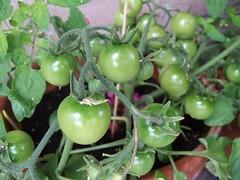 Lieven's F2 tomato