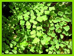 Close-up of Southern Maidenhair Fern/Venus Hairfern in dappled shade