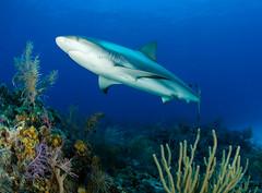 reefshrk7725pcw (gerb) Tags: blue fish topf25 water beautiful topv111 1025fav 510fav wow ilovenature shark cool topv555 underwater 500v20f gorgeous topv1111 topv999 scuba fv5 pi wildanimal topv777 d200 bahamas reef animalplanet fins aquatica naturesfinest reefshark 105mmf28gfisheye pfo top20fish tvx top20fish20 photofaceoffwinner photofaceoffplatinum borntobewildandfree pfogold pfop pfohiddengem july08pfobrackets