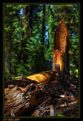 A Fallen Giant (KayCpics) Tags: tree yosemite redwood yosemitenationalpark hdr orton kaycpics onlythebestare
