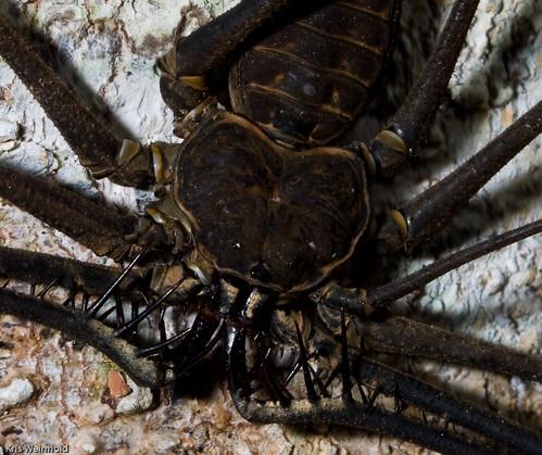 Whiptail Scorpion