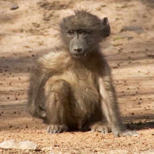 Baboon #2